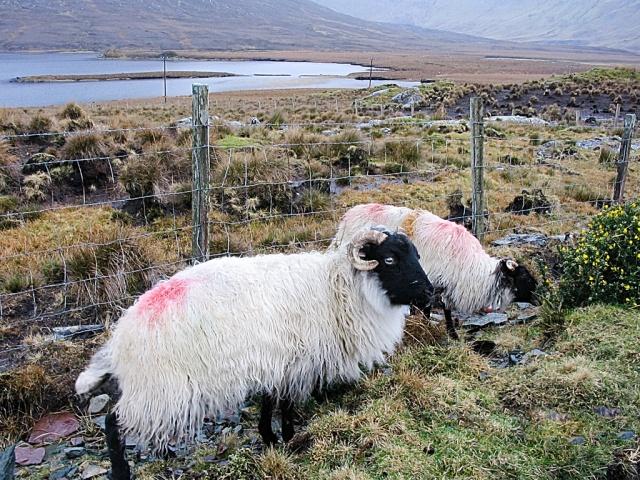 Grazing Sheep, Ireland