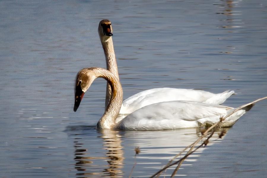 2-headed swan