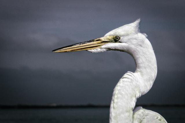 Egret - Sanibel Island, FL