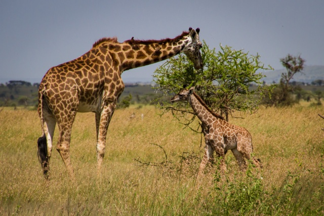 Giraffe and Calf - Tanzania