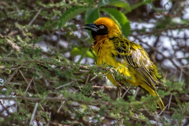 Weaver Bird - Ngorongoro Crater