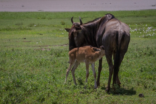 New-born Wildebeest